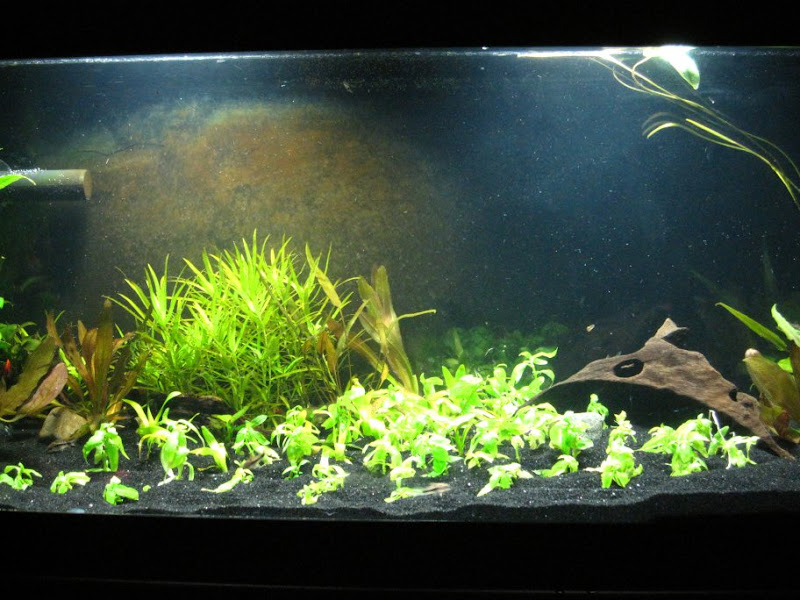 Brown algae aquarium 1000 aquarium ideas for Algae bloom in fish tank