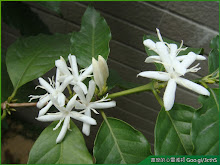 咖啡樹花朵照片