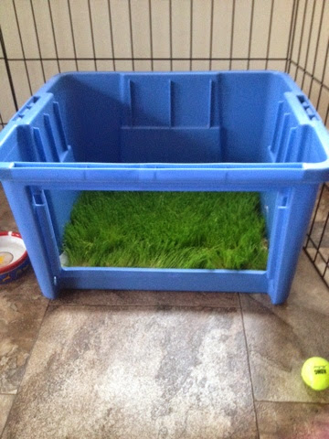 After it seemed dry enough, we cut the sheet of grass to fit into Bean's indoor potty. We left a layer of pee pad underneath to absorb any extra moisture.