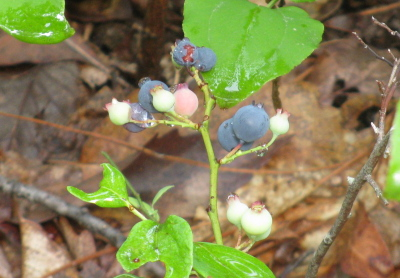 a few blueberries, although some of them aren't ripe and look albino