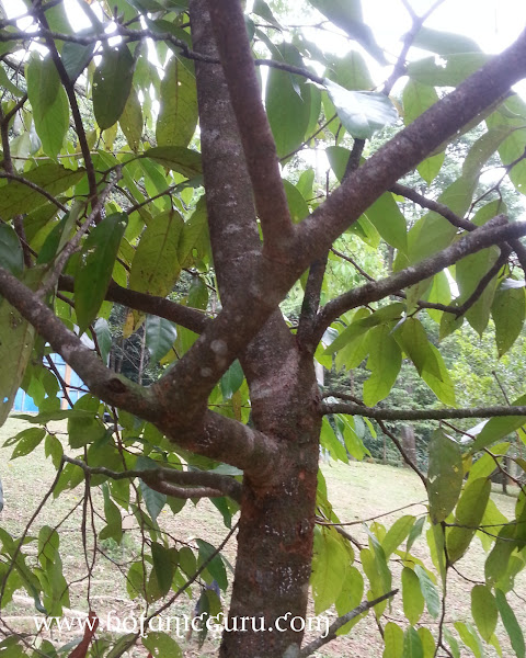 Maingaya malayana trunk