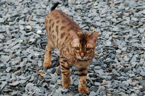 Halkalı Kuyruklu Kedi