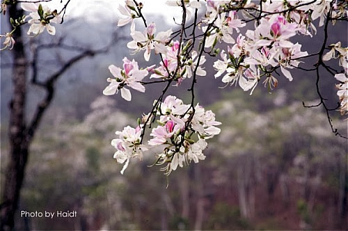 hoa+ban001  Du lịch Mộc Châu những mùa hoa