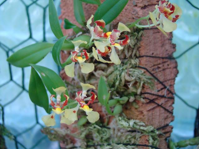 Oncidium coloratum DSC09749