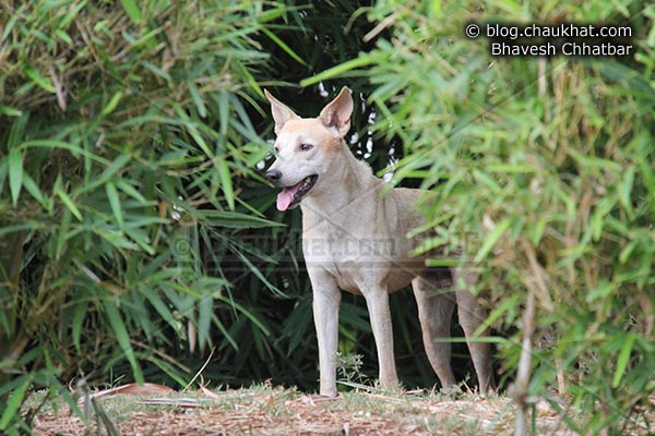 Stray dog behaving like a wild dog in Okayama Garden [AKA Pu La Deshpande Garden] of Pune city