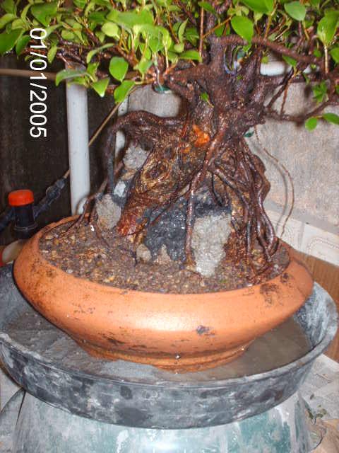 Ficus Microcarpa do Roberto Teixeira... PICT1706