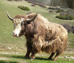Горный бык