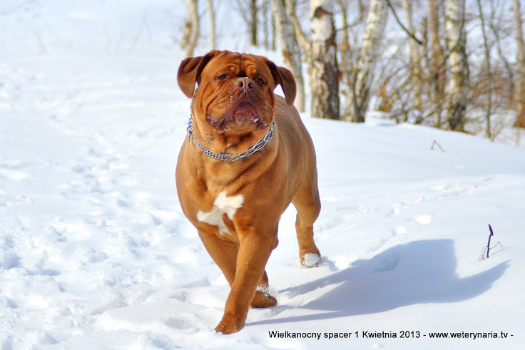dogue de bordeaux suka