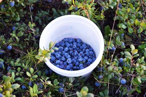 How Big Does A Blueberry Bush Get