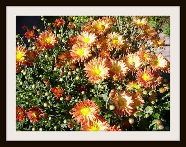 Хризантемы - королевы осени - Страница 2 IMGP0622