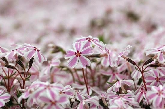 hoa chi anh màu trắng