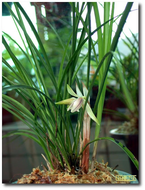 Растения из Тюмени. Краткий обзор - Страница 3 Cym_formosanum-2
