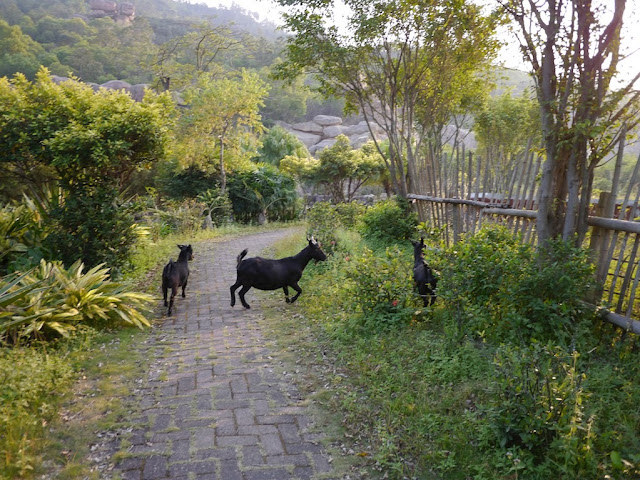 three black goats on and around a brick path in Zhuhai