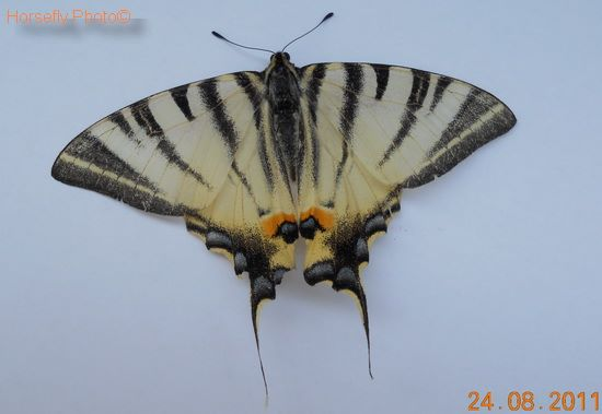 Papilio machaon - Macaone