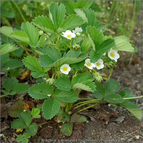 Fragaria ×ananassa Duchesne - truskawka pokrój kwitnącej rośliny