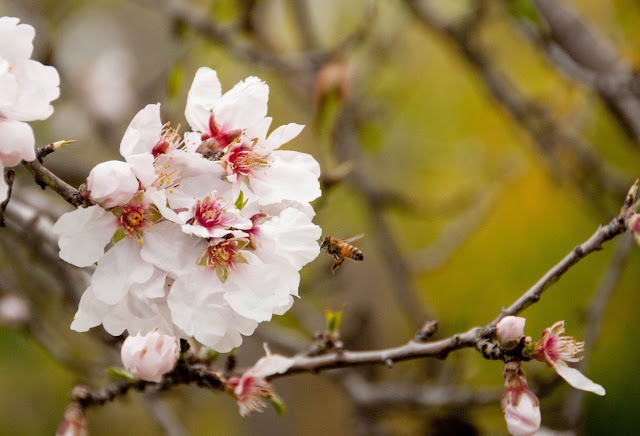 almond blossom and bee, Israel