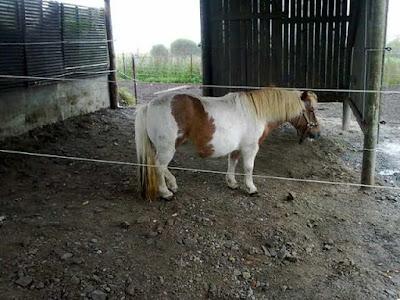 liinu pony