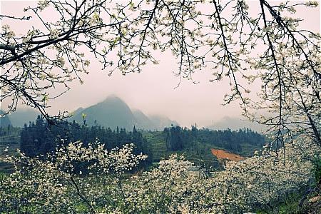 hoa+man002  Du lịch Mộc Châu những mùa hoa