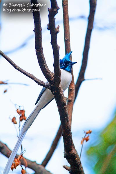 Asian Paradise Flycatcher with its shining head
