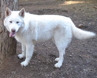 Wolf - WARNING! BEWARE of Wolf Dog Breeders and Wolf Hybrid Brokers