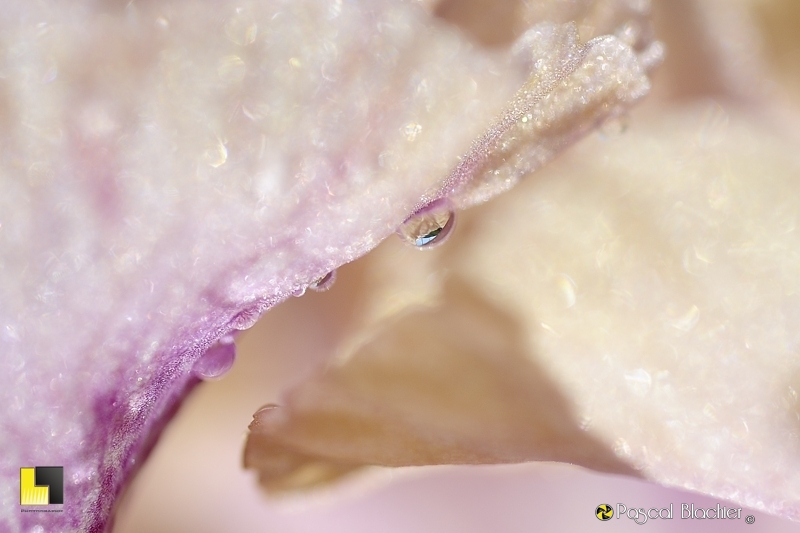 larme de fleur photo pascal blachier