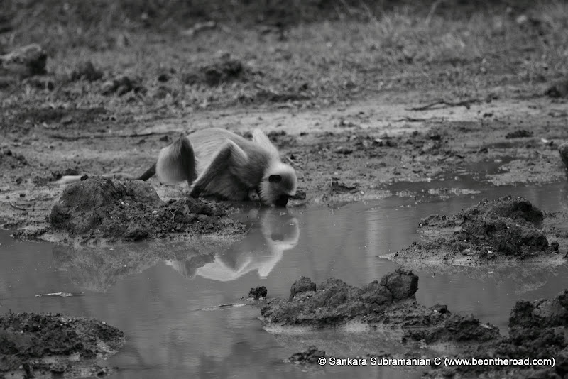 Hanuman Langaur and his reflection while drinking water at Nagarhole National Park