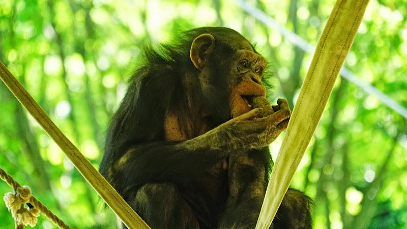多摩動物公園 チンパンジー 写真