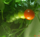 12 week cherry tomatoes starting to ripen