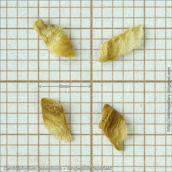 Cercidiphyllum japonicum seeds - Grujecznik japoński nasiona