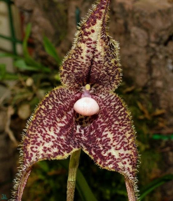 Растения из Тюмени. Краткий обзор - Страница 3 Dracula_severa0