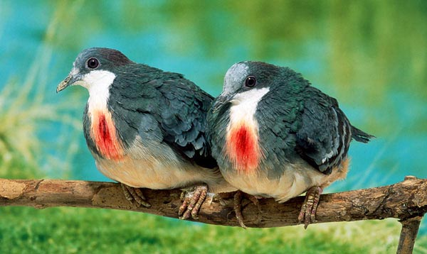14 Most Beautiful Birds of the World - Bleeding Heart Pigeons