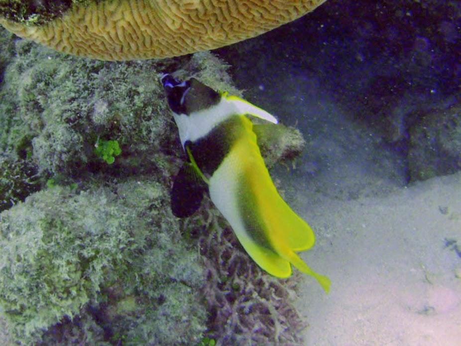 Heniochus monoceros (Masked Bannerfish), Rarotonga.