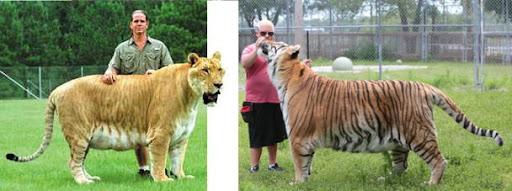 Comparação de  tamanho entre  animais  e   Seres humanos - Página 2 Livt