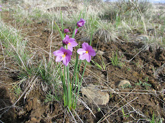 Olsynium douglasii (Grass Widow)