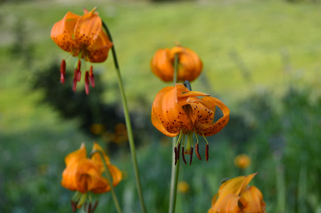 tiger lilies or Humboldt lilies