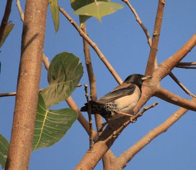 26-Feb-2012 Rosy Starling Pic: Rosita Sequeira