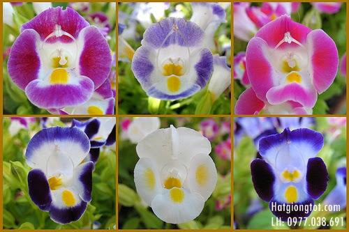 Hoa tô liên còn có tên khác là hoa mắt nai