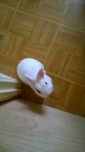 Meiko, lapin blanc à l'oeil au beurre noir!-[adopté] 755295WP20140729131639Pro