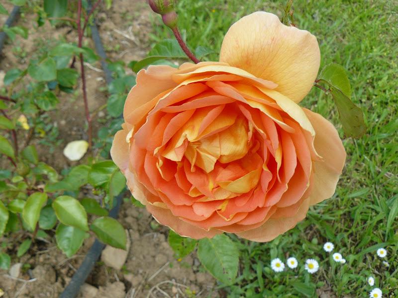Des floraisons au jardin ... - Page 2 P1030406