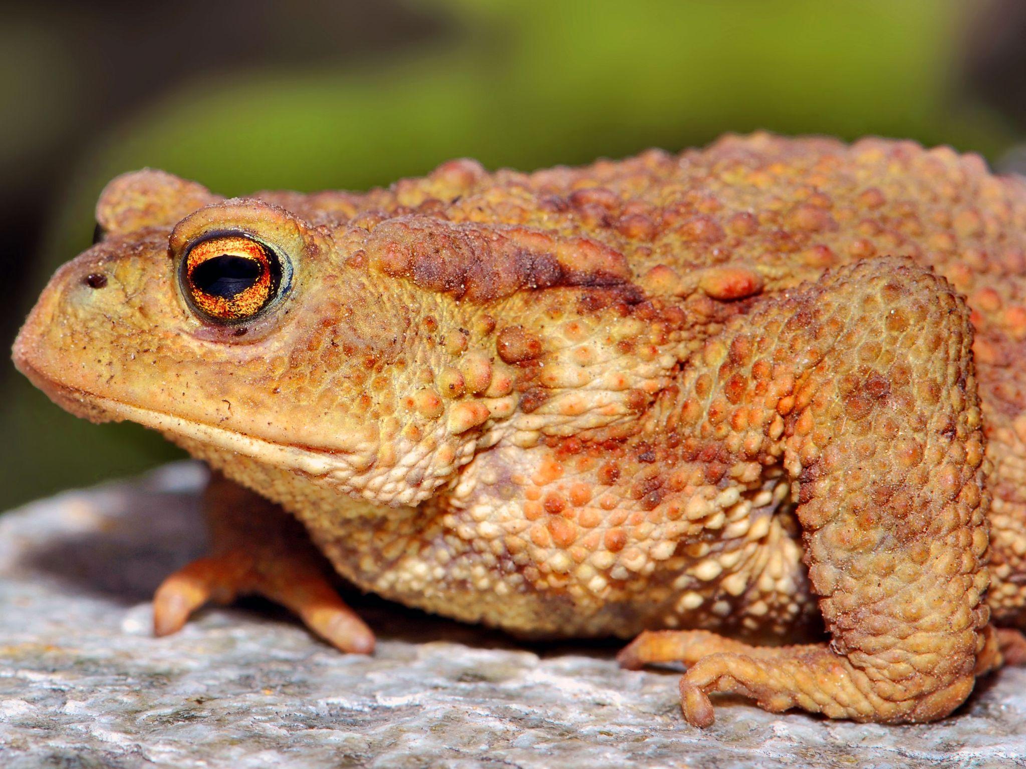 жаба рапуха фото крепятся