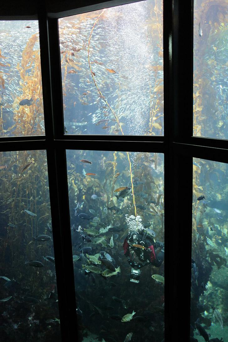 Kelp Forest Monterey Aquarium CA.