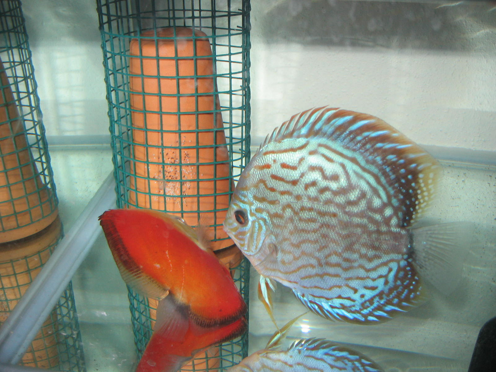 The secerts of breeding discus wow discus fish discuss me for Discus fish food