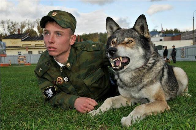 Volkosoby – giống chó lai sói được đào tạo dành riêng cho việc bảo vệ biên giới nước Nga