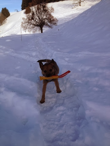 Border Terrier Charly apportiert im Schnee