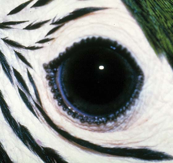 The iris of an immature blue and gold macaw