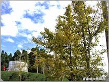 銀杏森林-藍天、白雲、黃銀杏