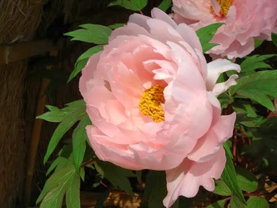 Flor peônia verdadeira
