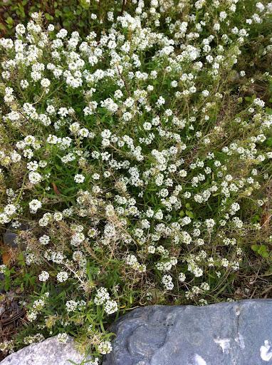 Lobularia maritima sin. Alyssum maritimum-pianta tappezzante molti fiori bian...