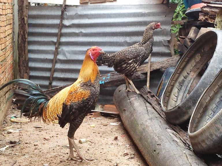 Trại   gà   peru,  mỹ   BÌNH DUONG - 4