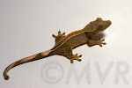 Sacagawea - Unsexed *full* pinstripe crested gecko from moonvalleyreptiles.com